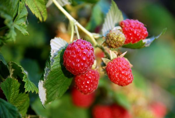 Raspberry Zeva