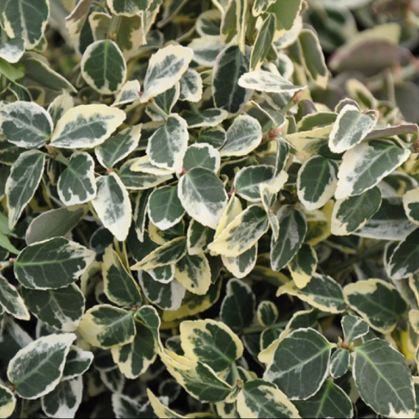 Euonymus fort. 'Emeraltrd Gaiety' 2ltr