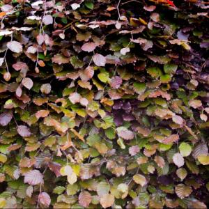 Fagus syltrv. 'Purpurea' 3ltr