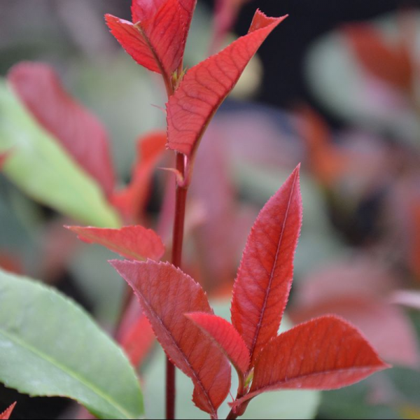 Photinia 'ltrittltre Red Robin' 2ltr