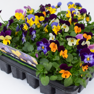 Viola Citrus Mixed