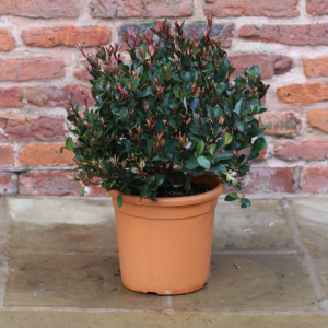Photinia Little Red Robin Bush