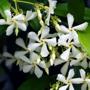 Trachelospermum jasminoides Frame 150x80cm