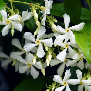 Trachelospermum jasminoides Tripod