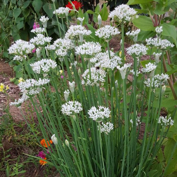 Chives Garlic 1L