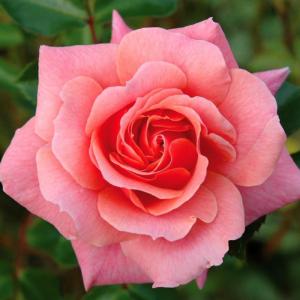 Festive Jewel Rose