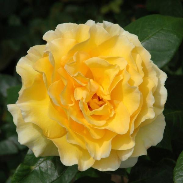 Grosvenor House Rose