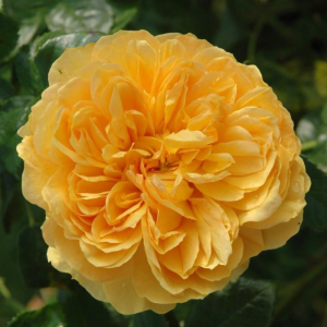 Leah Tutu Rose