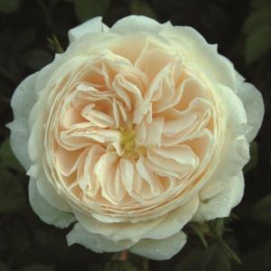Macmillan Nurse Rose