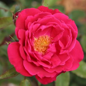 Papworth Pride Rose