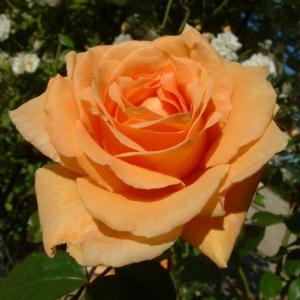 Raymond Carver Rose