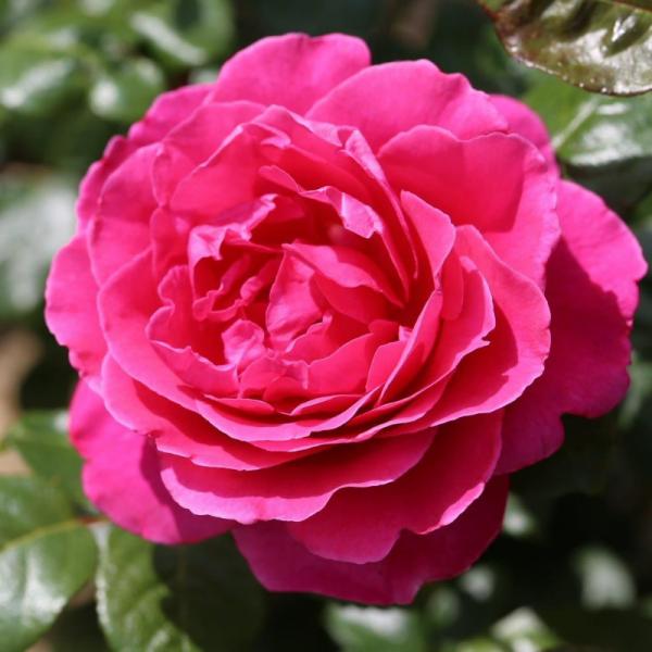 Sandringham Rose