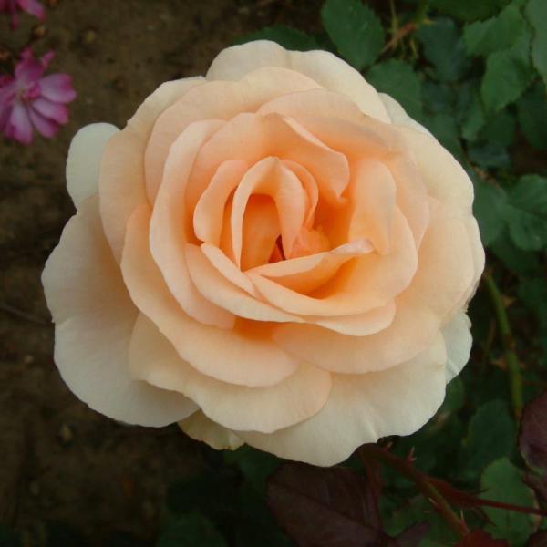 The Churchill Rose Rose