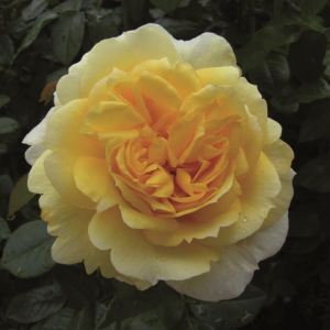 Togmeister Rose