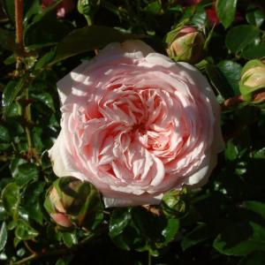 Awakening Rose