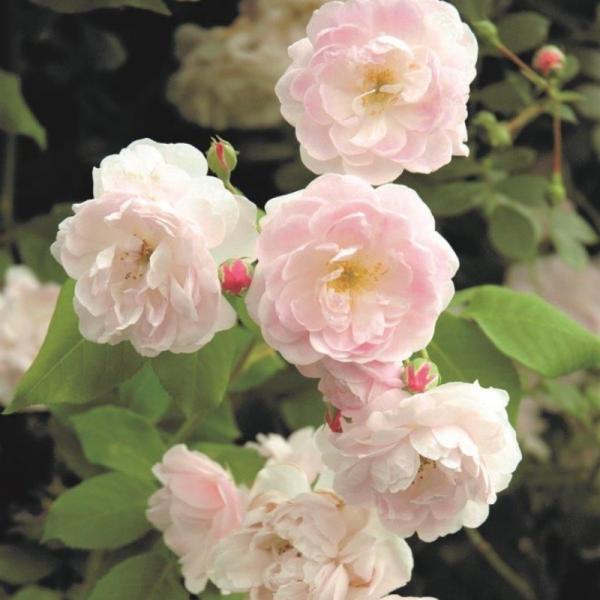 Blush Noisette Rose