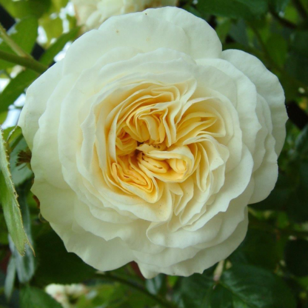 Clarence House Rose