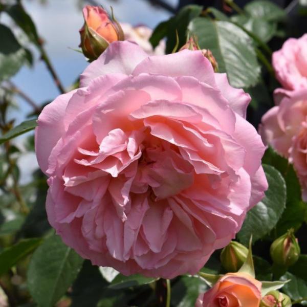 Fragrant Celebration Rose