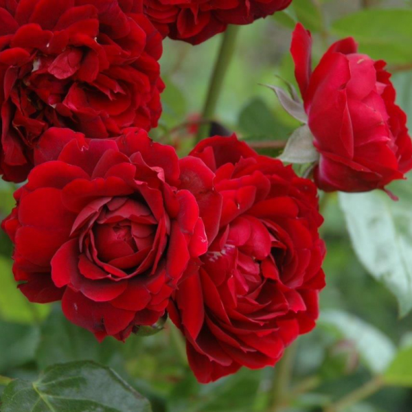 Highgrove Rose