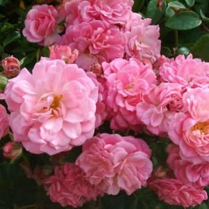 Rural England Rose