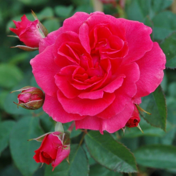 Wymondham Abbey Rose