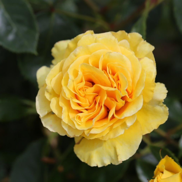 Anniversary Wishes Gift Rose