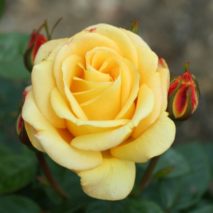 Golden Bouquet Gift Rose