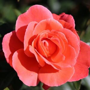 Happy Anniversary Gift Rose