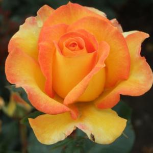 Happy Birthday Gift Rose
