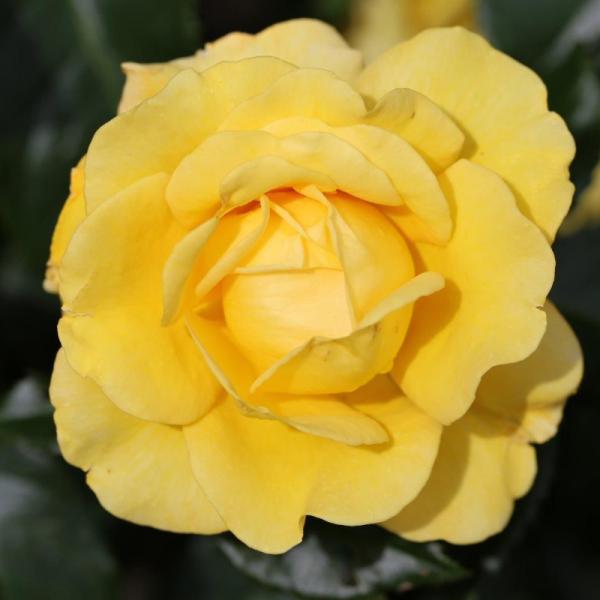 Happy Golden Wedding Gift Rose