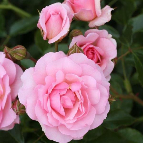 Happy Retirement Gift Rose