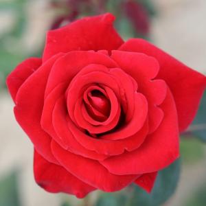 Happy Ruby Wedding Gift Rose