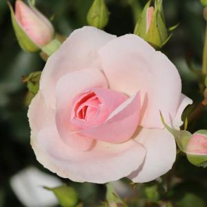 Many Happy Returns Gift Rose