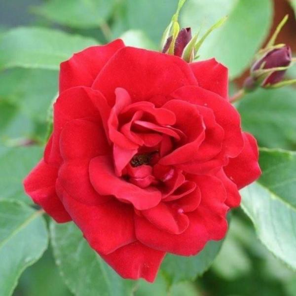Ruby Anniversary Gift Rose