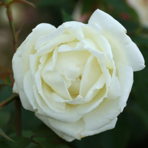 Silver Anniversary Gift Rose
