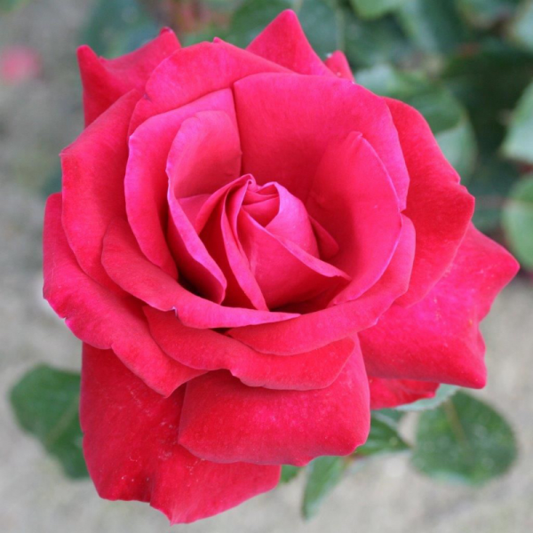 Thinking Of You Gift Rose