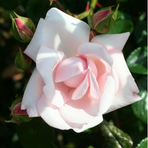 Climbing Rose New Dawn 4L