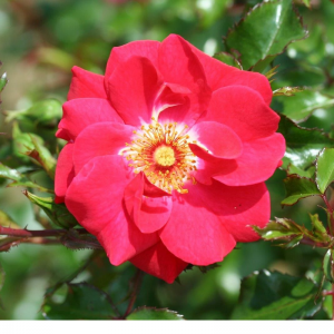 Climbing Rose Olympic Flame 4L