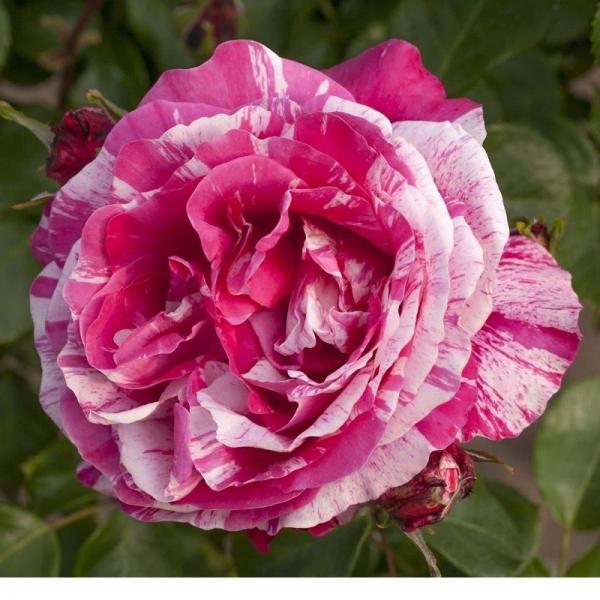 Climbing Rose Raspberry Cream Twirl 4L