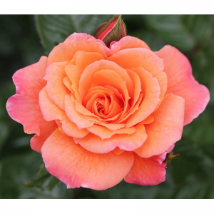Climbing Rose Scent From Heaven 4L
