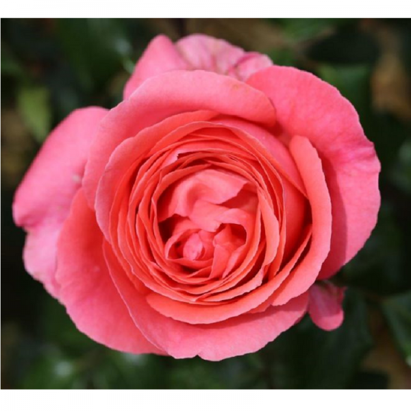 Climbing Rose Special Anniversary 4L