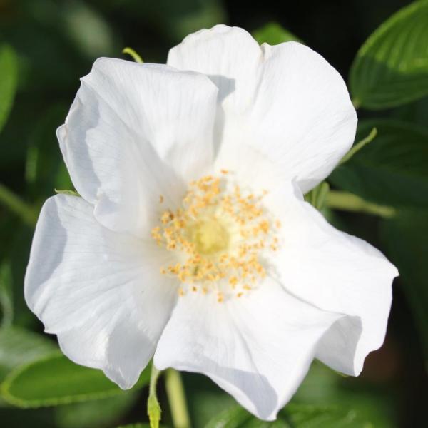 Rosa Rugosa Alba Shrub Rose