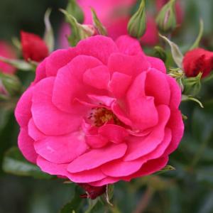 Flower Carpet Pink