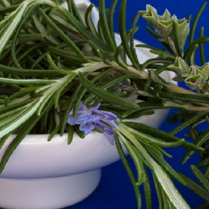 Rosemary Officinalis 9cm