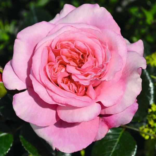Timeless Pink Rose