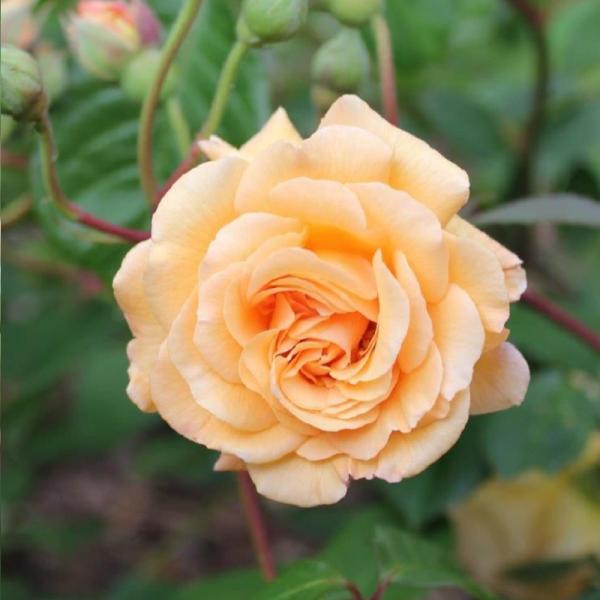 Buff Beauty Shrub Rose