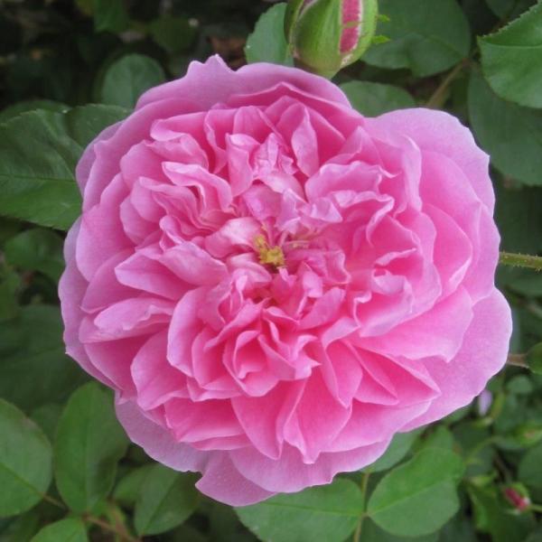 Shrub Rose Comte De Chambord