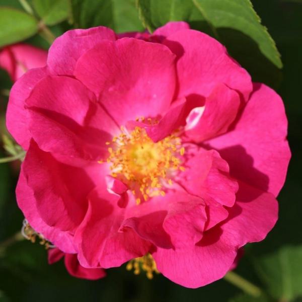Shrub Rose Duchess Of Portland