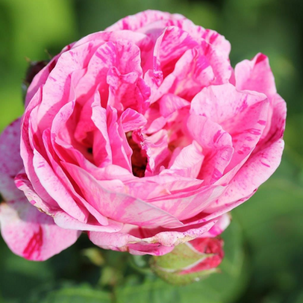 Shrub Rose Ferdinand Pichard