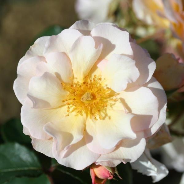 Shrub Rose Penelope